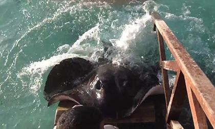 cá đuối, gai cá đuối, kéo gai cá đuối từ chân người đàn ông, kéo gai cá đuối từ chân người, gai cá đuối độc, cá đuối gai độc, tin, bao