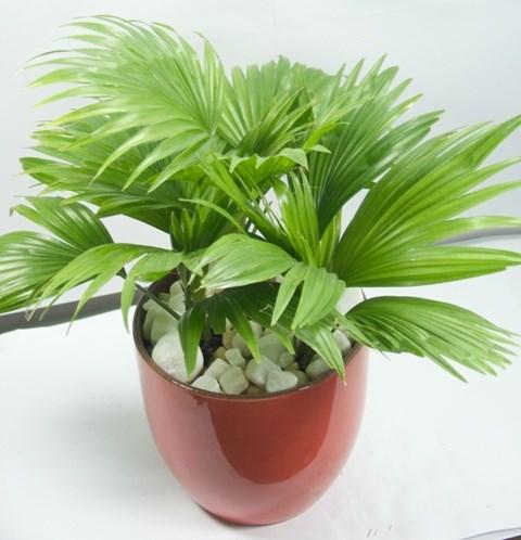 Cây cảnh,loại cây nên để trên bàn làm việc,bày trí trong nhà