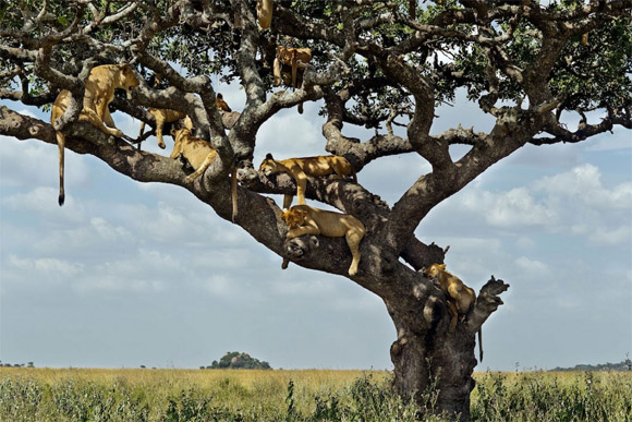 sư tử,sư tử ngủ vắt vẻo trên cây,sư tử ngủ trên cây tránh nắng