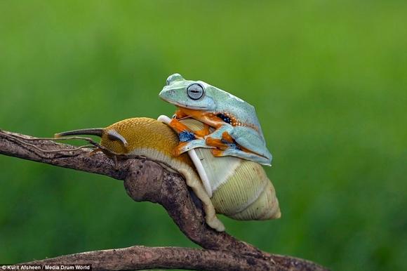 Khoảnh khắc ốc sên 'cõng' ếch tuyệt đẹp,  ốc sên 'cõng' ếch tuyệt đẹp, ảnh dộng vật, ảnh đẹp, tin ngôi sao