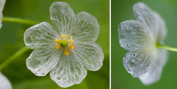 loài hoa cứ mưa là đổi màu, hoa xương, skeleton flower, hoa đổi màu trong suốt