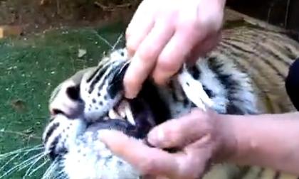 Rùng mình màn nhổ răng sâu cho hổ
