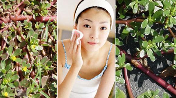 Công dụng của rau sam, trị mụn nhọt, chữa lành vết thương, thanh nhiệt, giải độc, nhuận tràng