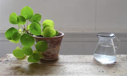 điều thần bí từ hoa dứa, điều bất ngờ từ quả dứa, trồng dứa, ngọn dứa tác dụng bất ngờ