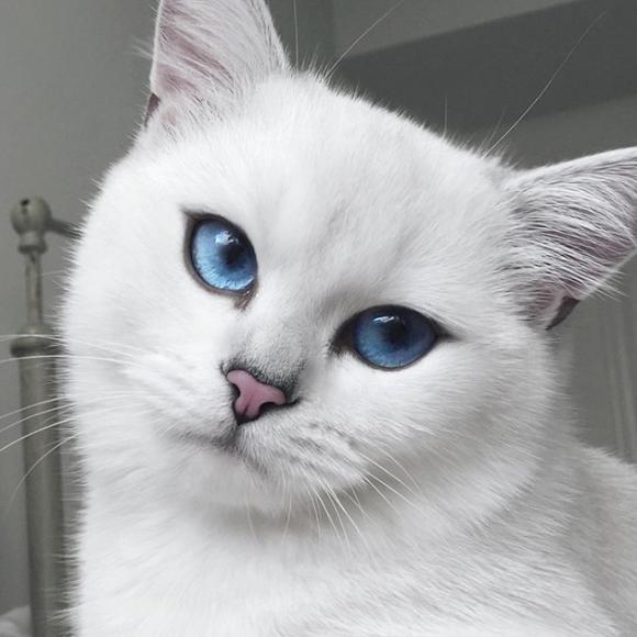 mèo Coby, mèo có đôi mắt đẹp nhất, mèo đẹp nhất thế giới