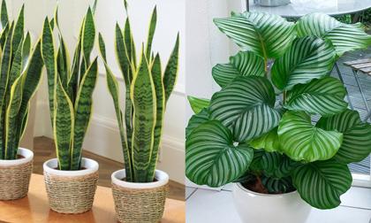 cải thiện sức khỏe, sức khỏe, cây nên trồng trong nhà
