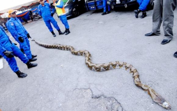 con trăn dài nhất thế giới, con trăn dài 8m, con trăn dài