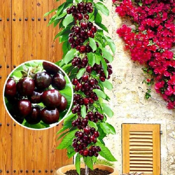 cay canh an qua 4 ngoisao.vn Điểm qua xu hướng trồng cây cảnh lùn ăn quả 100% người đều mê