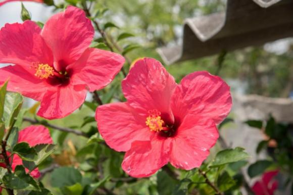 Những loại hoa mang may mắn đến nhà mà gia chủ nên trồng 3
