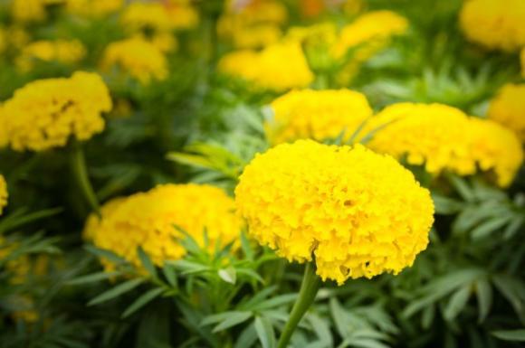 Những loại hoa mang may mắn đến nhà mà gia chủ nên trồng 4