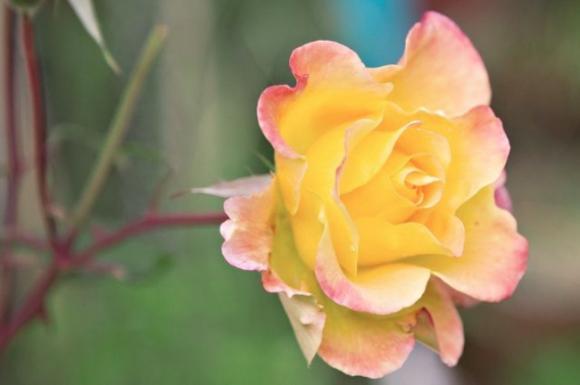 Hoa hồng trên khoai tây 0