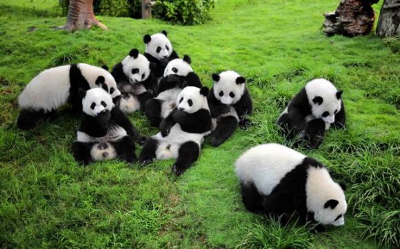 Tại sao gấu trúc có màu trắng đen, gấu trúc, màu của gấu trúc