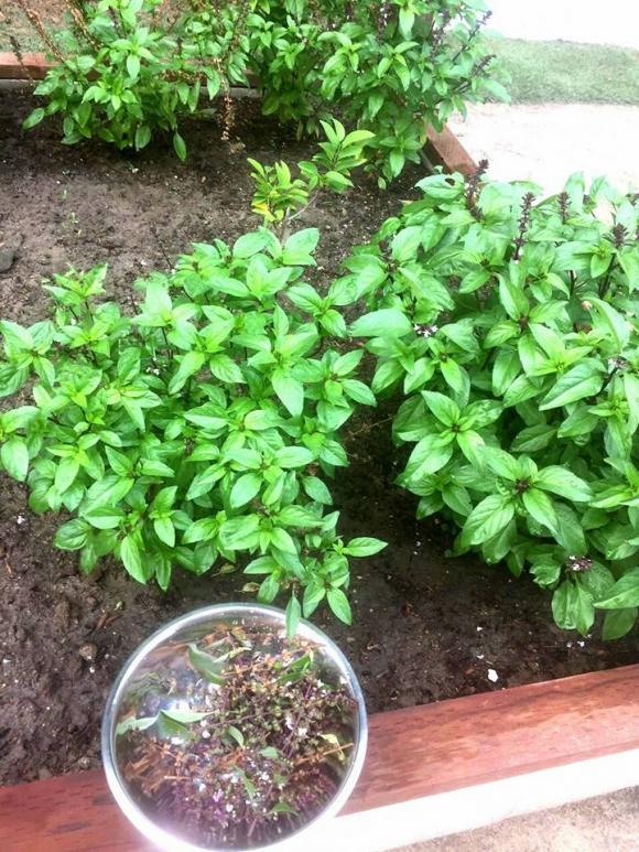 nhà sao,vườn rau nhà sao việt,danh ca hương lan,sao việt trồng rau sạch, sao Việt