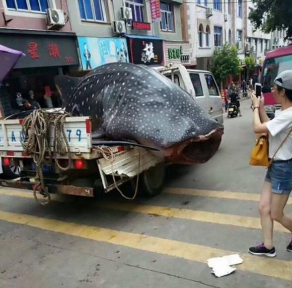 cá mập, cá mập voi, cá quý hiếm