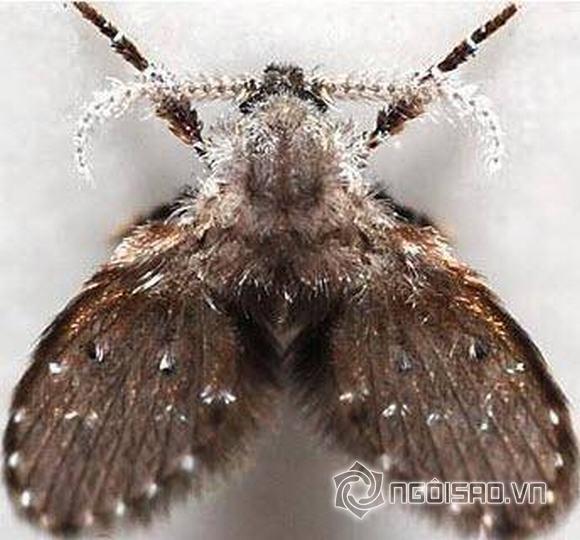 côn trùng, ruồi cống, nhà vệ sinh, ruồi ống cống