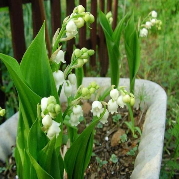 9 loại hoa nên trồng trên ban công, loại hoa khiến cả nhà luôn thơm mát, những loại hoa nên trồng trong nhà