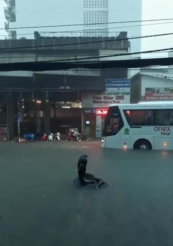 rắn hổ mang, rắn hổ mang xuất hiện ở Nha Trang, mưa lớn Nha Trang