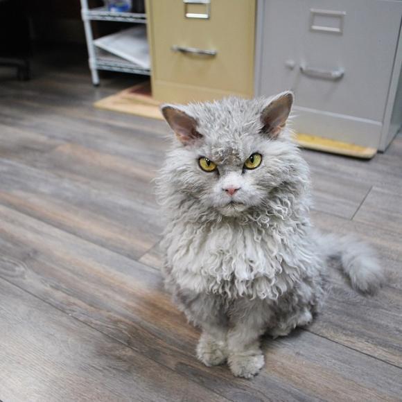 Mèo Pompous Albert, mèo khó tính, mèo có khuôn mặt cáu, chú mèo Pompous Albert