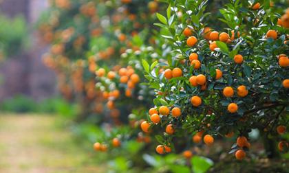siêu cây,  sinh vật cảnh,  Thanh Hoá, Nham thạch bách niên