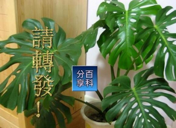 đừng đặt 2 chậu cây này trong nhà, phong thủy trong nhà, phong thủy về các loại cây