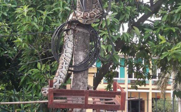 trăn khổng lồ, trăn to ở Phú Thọ, Phú Thọ, trăn to bị làm thịt