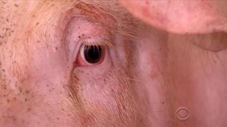 Lần đầu tiên trên thế giới: Người phụ nữ mù lấy lại ánh sáng nhờ được ghép giác mạc của… lợn!
