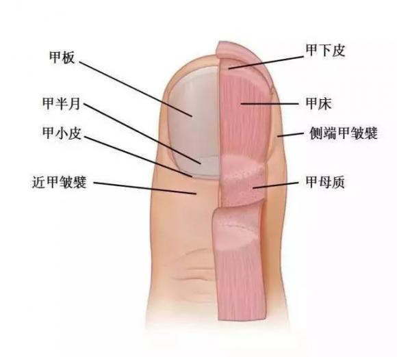 cắt móng tay đến đâu là hợp lý, lưu ý khi cắt móng tay, cắt móng tay đúng cách