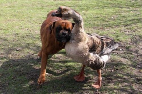 Cảm động tình bạn của ngỗng và chú chó mù