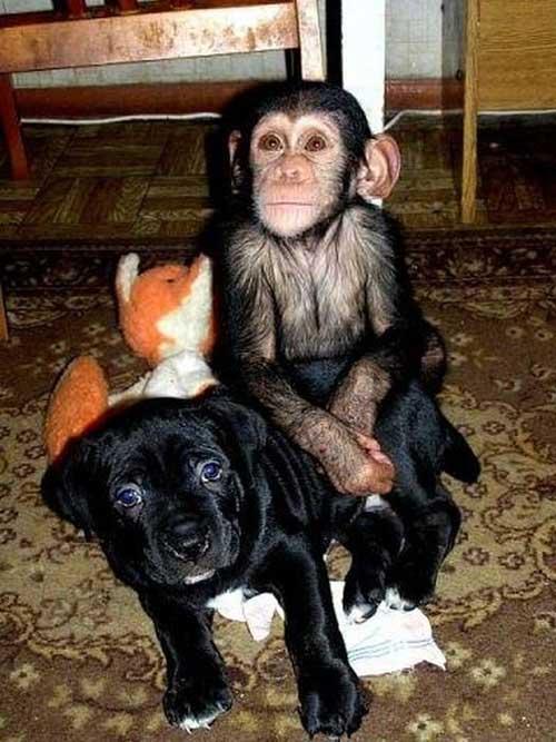 Tinh tinh làm 'con nuôi' của chó