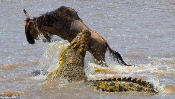 Những cảnh săn mồi rợn người của cá sấu