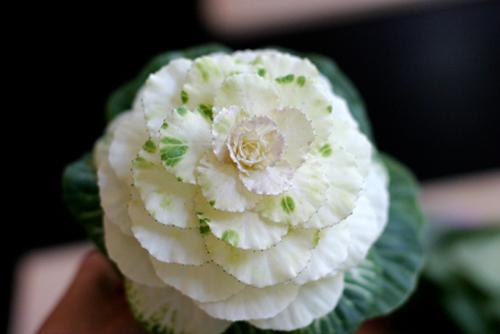 Hoa đẹp 20-10: Lạ mắt 2 mẫu cắm hoa Bắp cải - 5