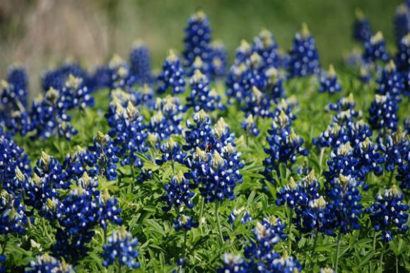 Những thảm hoa mũ len xanh đẹp ấn tượng
