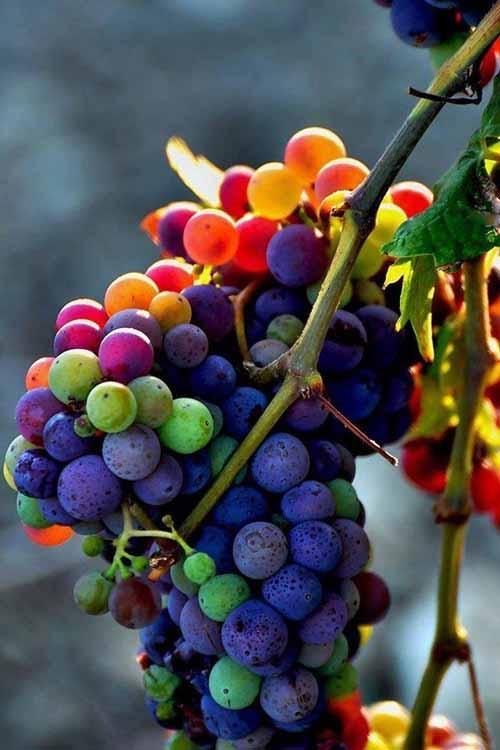 Nho cầu vồng nhiều màu tuyệt đẹp