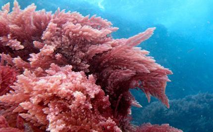 Tảo đỏ: Cải thiện khả năng chăn gối với loài rau quý từ đại dương 1