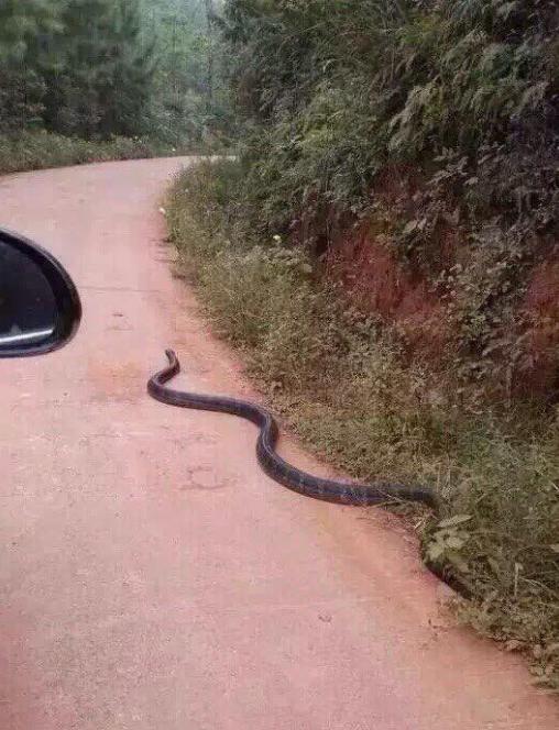 rắn hổ mang chúa, rắn hổ mang chúa, hổ mang chúa khổng, rắn ở Quảng Ninh, chuyện lạ